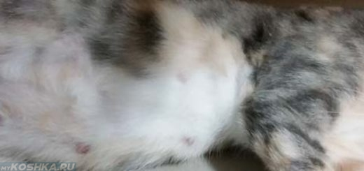 Беременная кошка вблизи животик