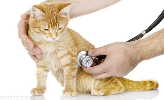 Осмотр у ветеринара больной кошки