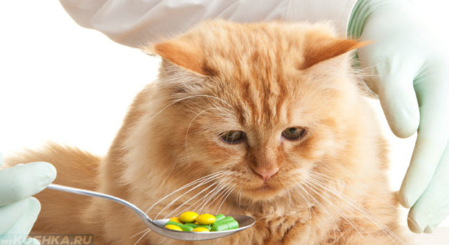 Беременная кошка принимает лекарство от врача
