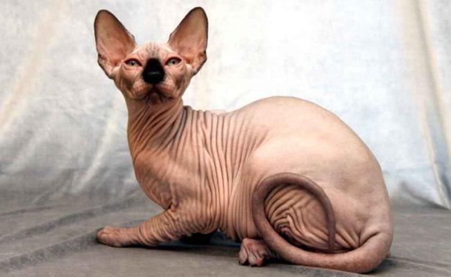 Кошка породы Сфинкс в профиль