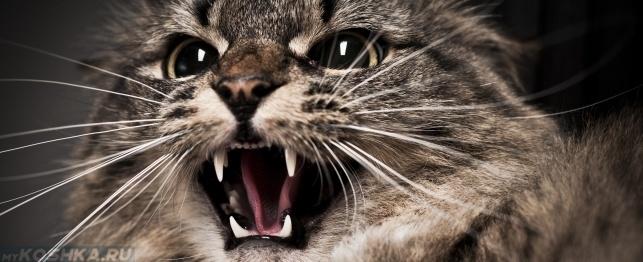 Кошка в стрессе шипит на владельца