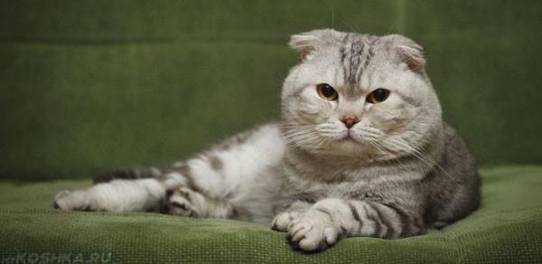 Беременная шотландская вислоухая кошка лежит в корзинке