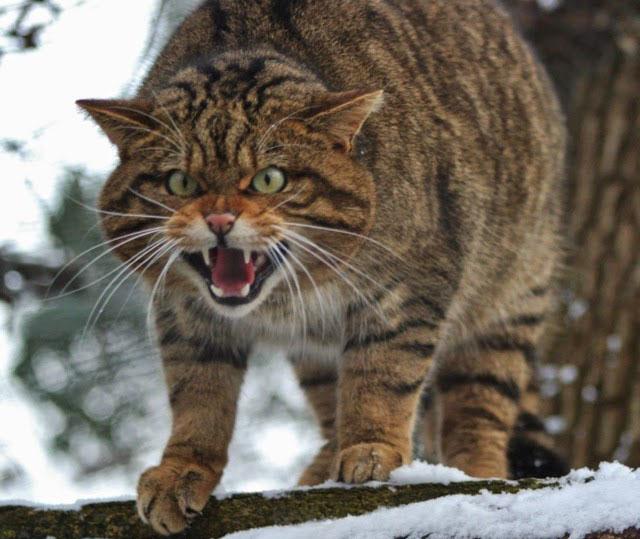 Дикая кошка Табби злится