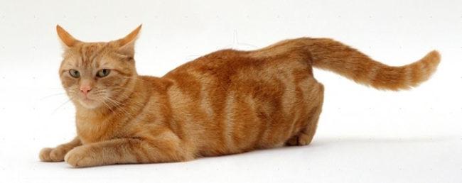 Течка у кошки и песнопения