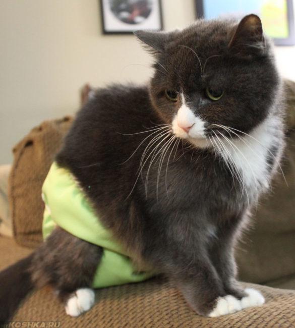 Кот в памперсе на период половой охоты