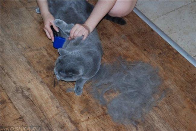 Британскую короткошерстную кошку расчесывают