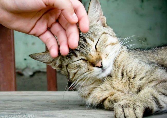 Кота гладит человек по голове
