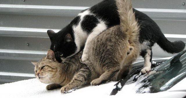 Кастрированный кот лезет на кошечку