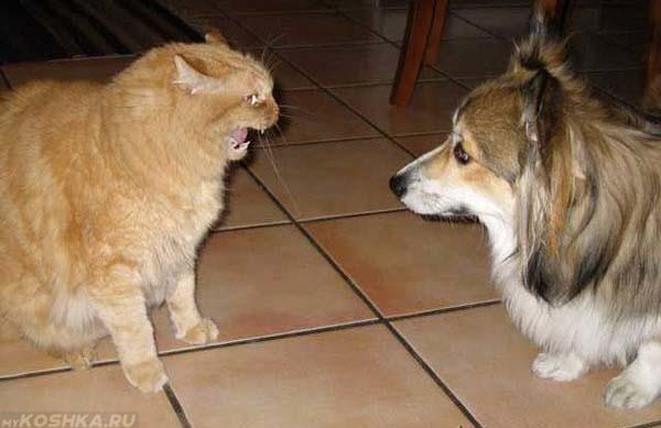 Кот шипит на собаку