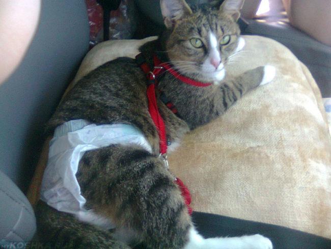 Кот в памперсе лежит