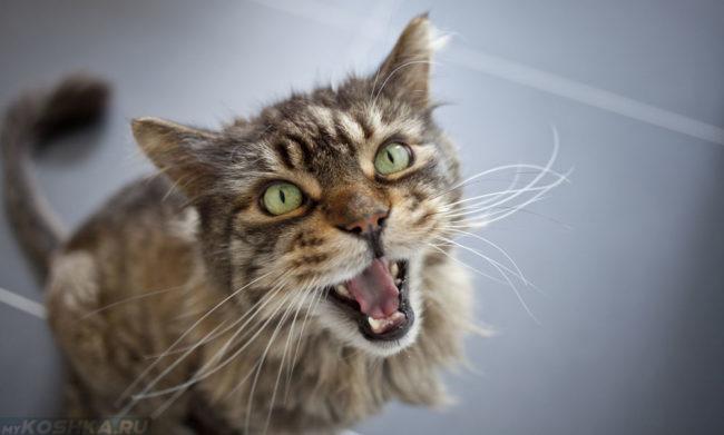 Не кастрированный кот противно орёт