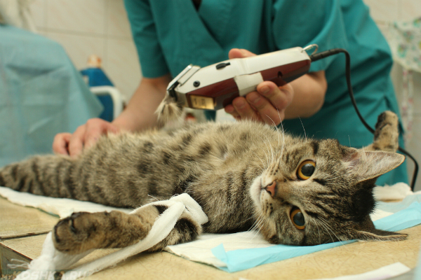 Кота готовят к операции по кастрации