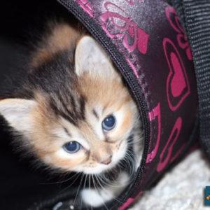 Котёнок полтора месяца лежит в сумочке