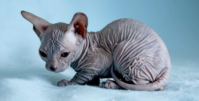 Котёнок породы Сфинкс сидит на покрывале