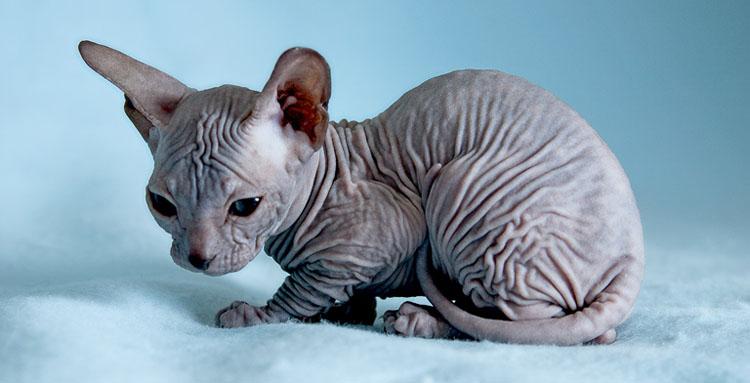 фото кошки сфинкс беременной
