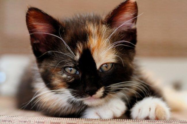 Трехцветный котёнок 4 месяца девочка
