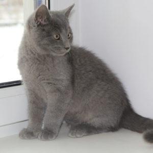 Котёнок шотландской породы сидит на подоконнике