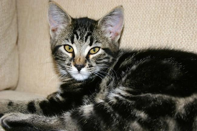 Кот в возрасте 8 месяцев
