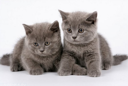Два британских котёнка