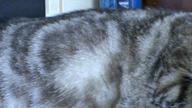 Котята толкаются в животе у беременной кошки