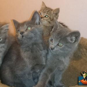 Котята британской породы в сборе сидят в корзиночке