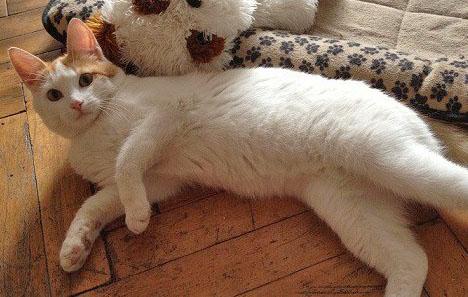 Ложно беременная кошка от кастрированного кота