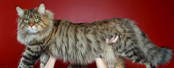Огромная кошка Мейн-Кун