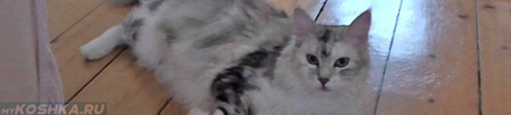 Беременная кошка породы Мейн-Кун