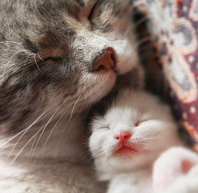 Кормящая кошка облизывает котёнка
