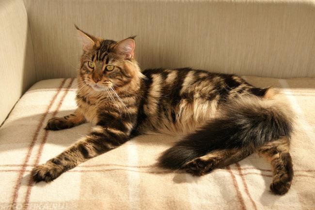 Фото кошки породы Мейн-Кун