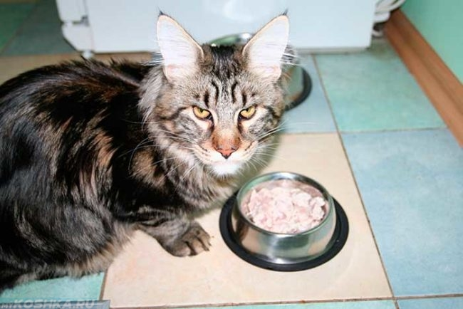Кошка Мейн-Кун ест из миски на полу