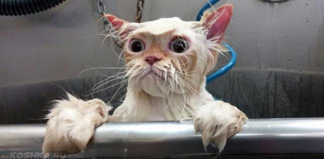 Мокрая кошка смотрит из тазика