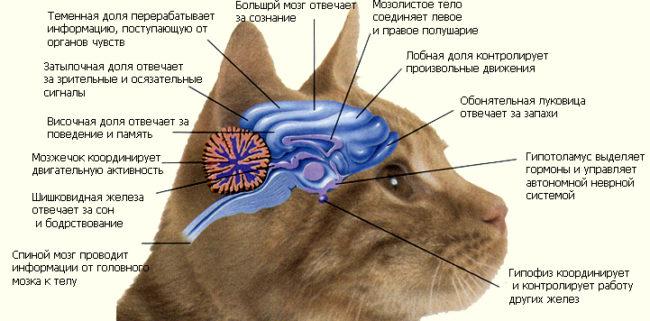 Схема нервной системы кошки