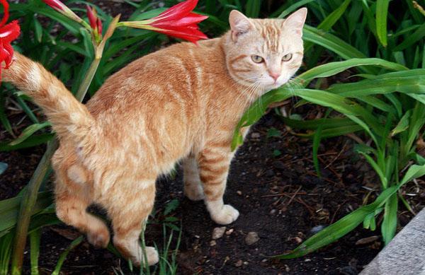 Домашний не кастрированный кот метит цветок