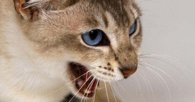 Нервная беременная кошка с голубыми глазами