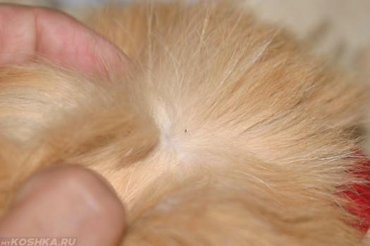 Осмотр кошки на предмет блох
