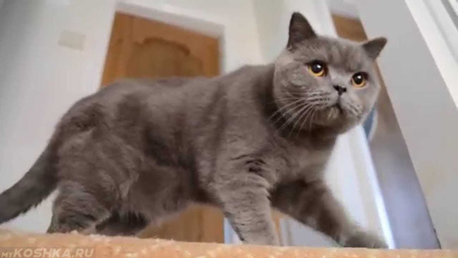 Британский кастрированный кот в преклонном возрасте