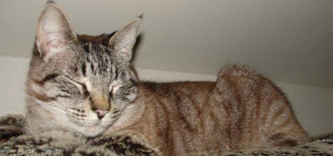 Старая кошка лежит на диване