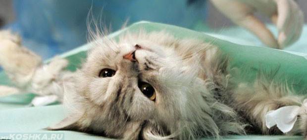 Операция по стерилизации кошки у ветеринара