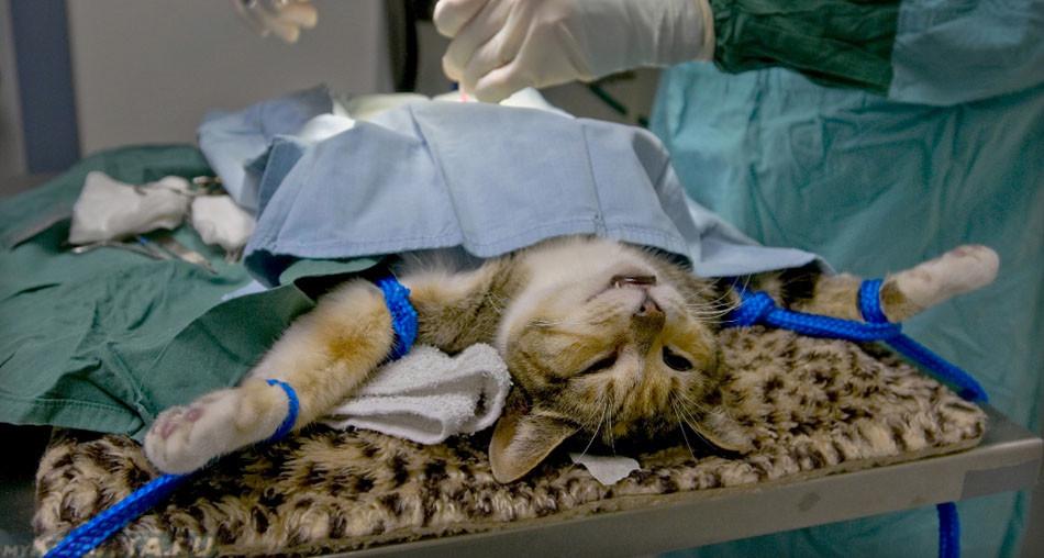 Как стерилизуют кошек в домашних условиях