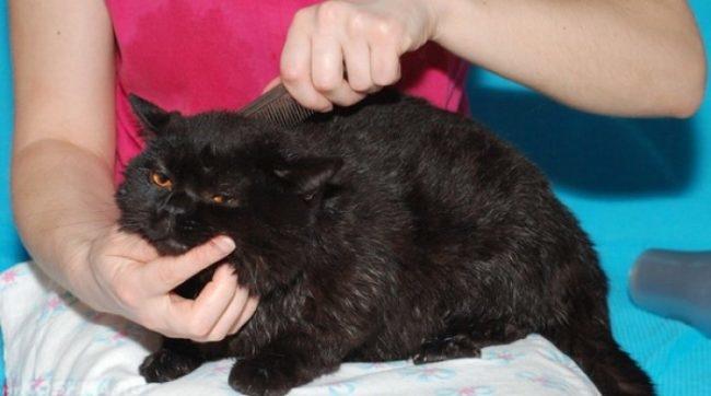 Осмотр и вычёсывание найденных колтунов у кошки