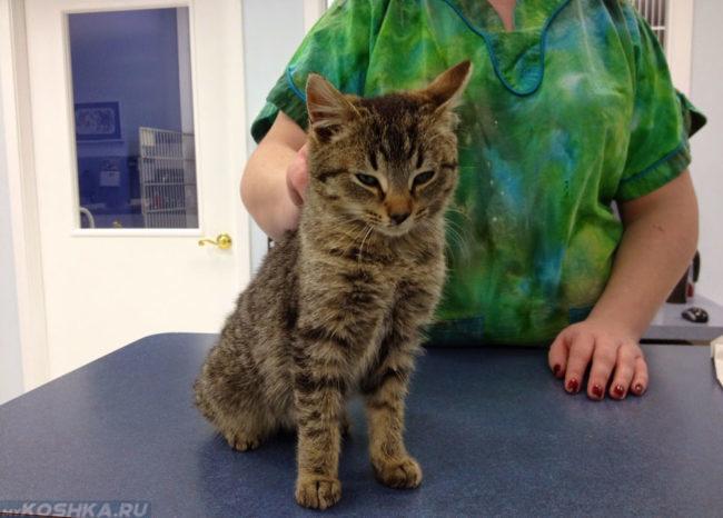 Осмотр кота на вирус панлейкопении