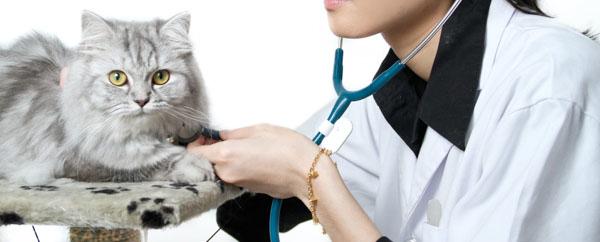 Осмотр взрослого кота у ветеринара