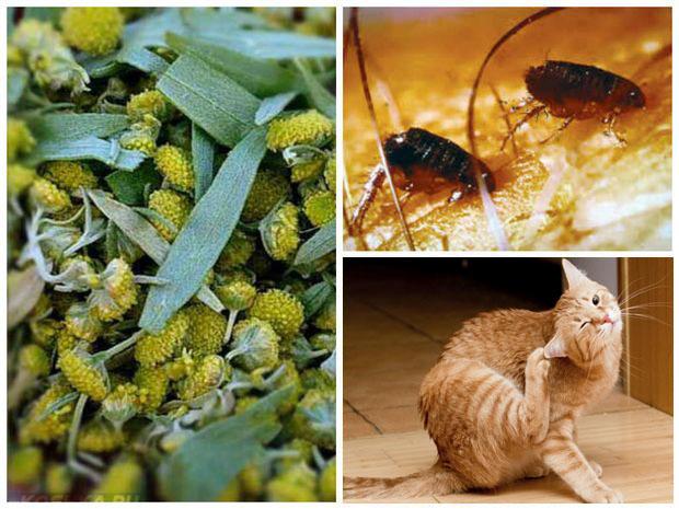 Лечение блох у кошки полынью