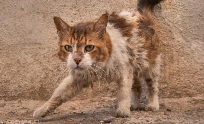 Домашний кот после похода на улицу