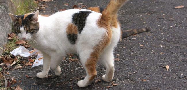Кошка на раннем сроке беременности