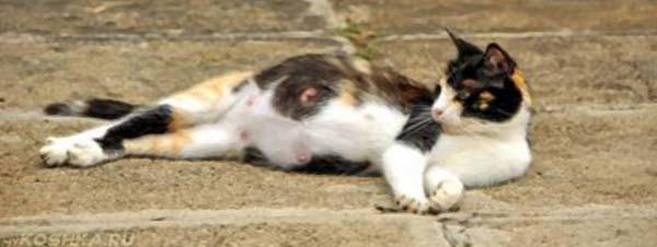 Беременная кошка лежит на земле