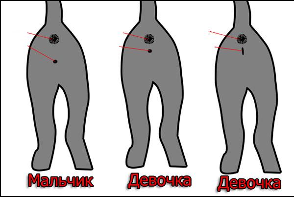 Разница в строении половых органов у коши и кота