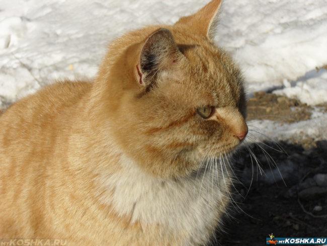 Двухгодовалый матёрый не кастрированный кот