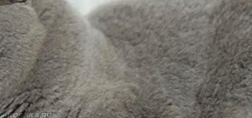 Беременная шотландская вислоухая кошка